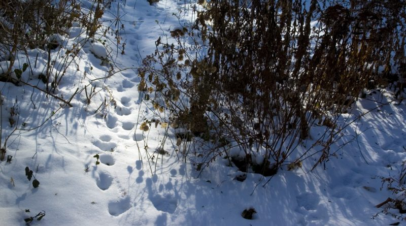 Pawprints in the snow.