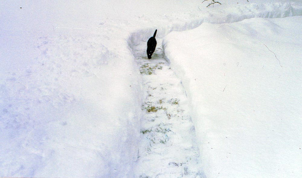 black cat in snow.