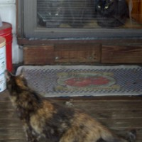tortoiseshell cat on deck black cats inside