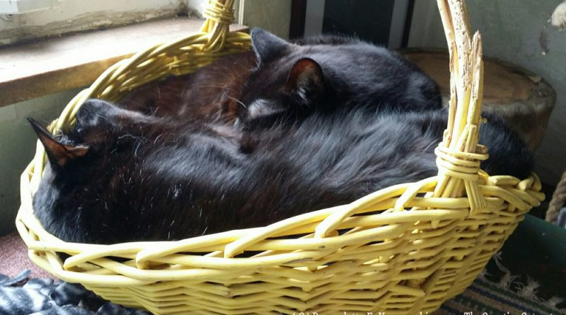 A basket full of black cats!