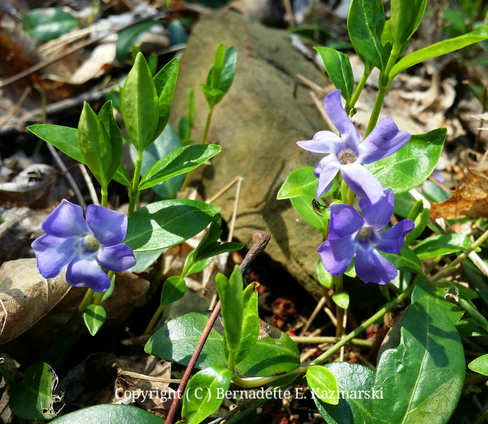 And Mimi and I found periwinkle flowers, finally!