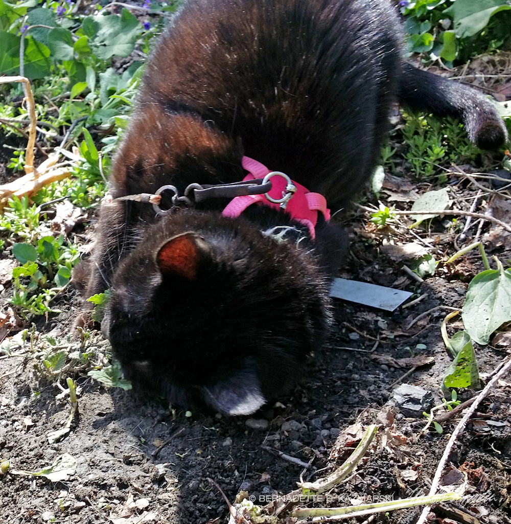 black cat rolling in dirt.
