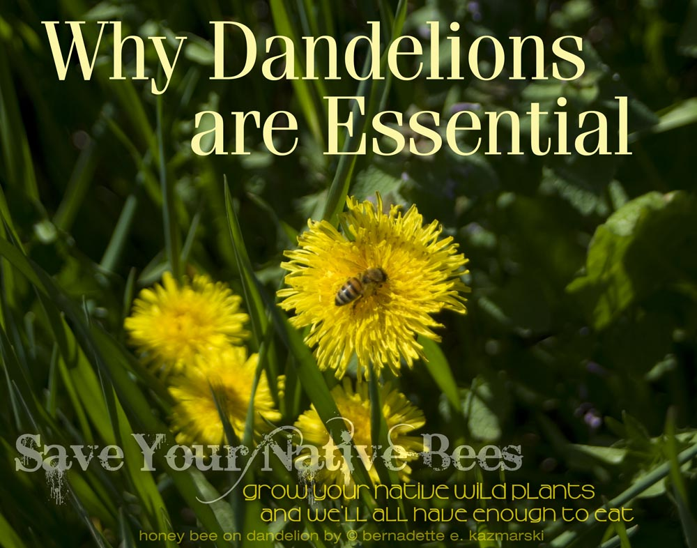 Your Backyard Wildlife Habitat: Why Dandelions Are Essential