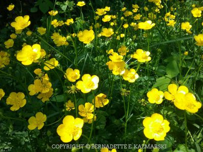 So many buttercups.
