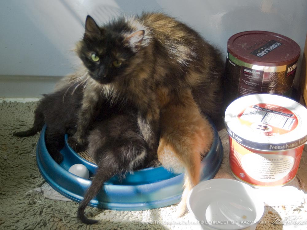 Charm is clever at nursing her kittens.