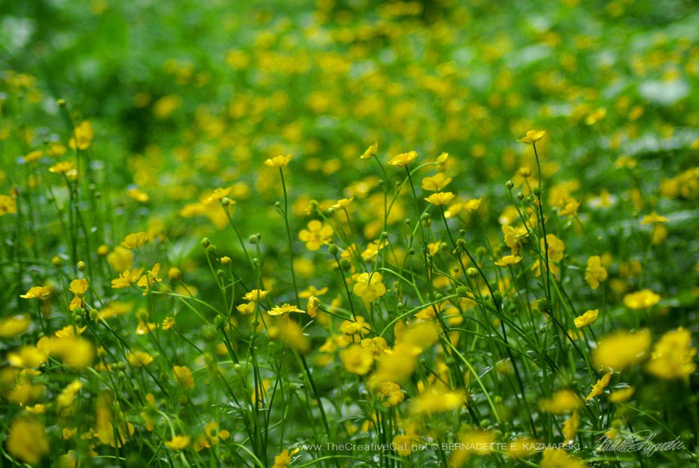 Buttercups waiting for the sun to come through.