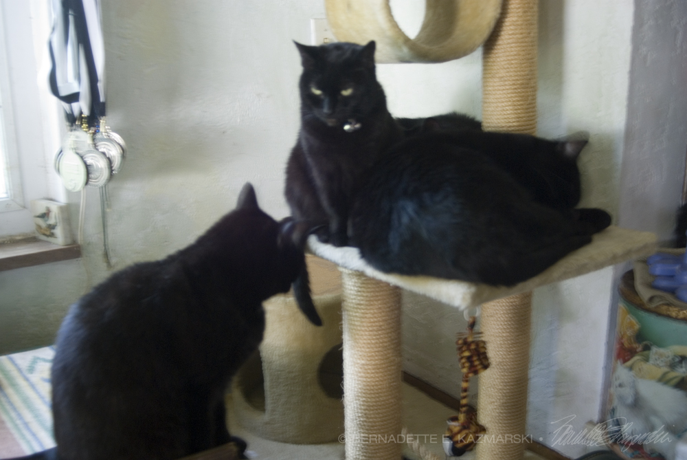 three black cats on cat tree