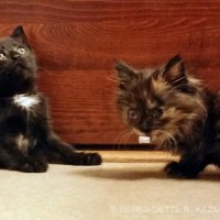 black kitten and tortoiseshell kitten