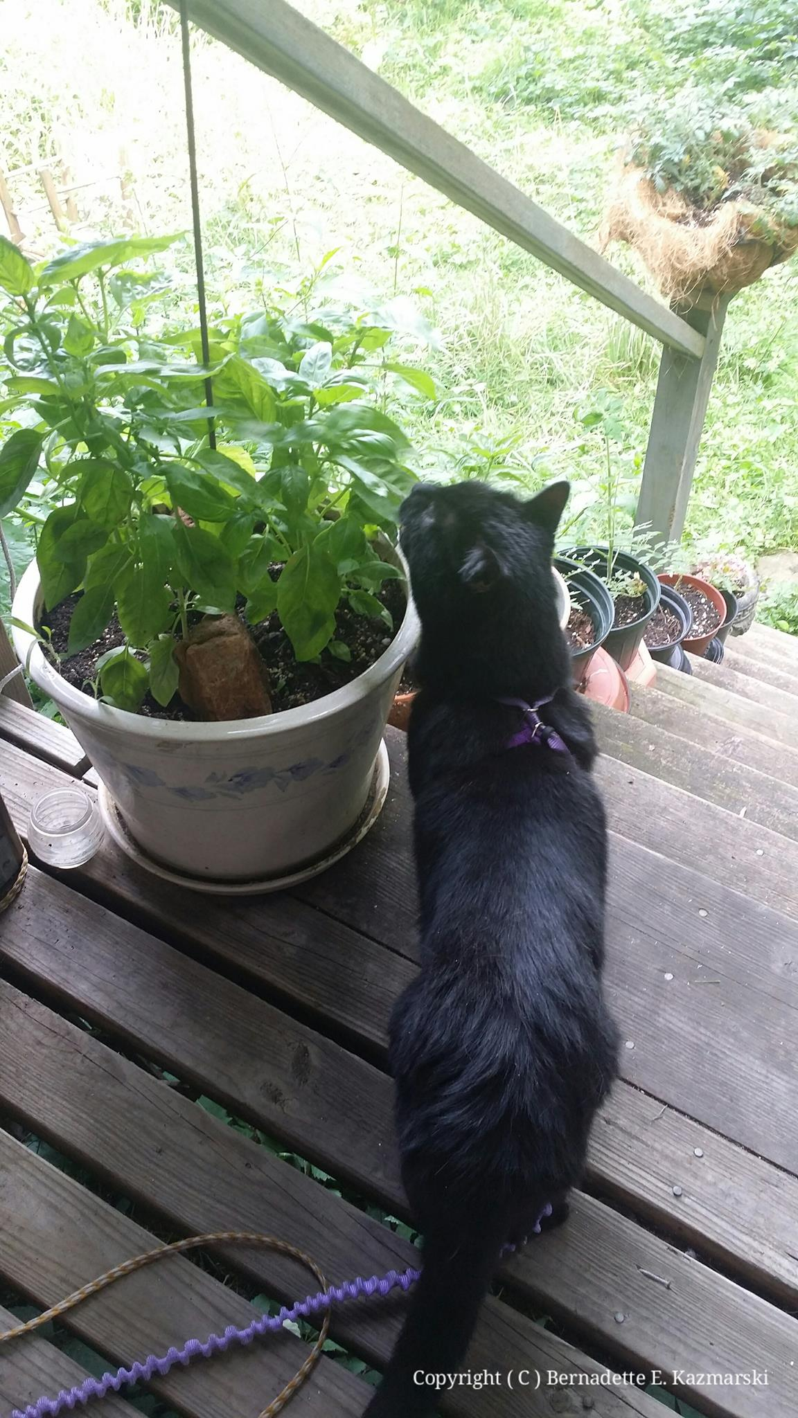 Mewsette has joined us this afternoon and of all things has found the parsley and basil--she already ate all the plants I used to have in the house.