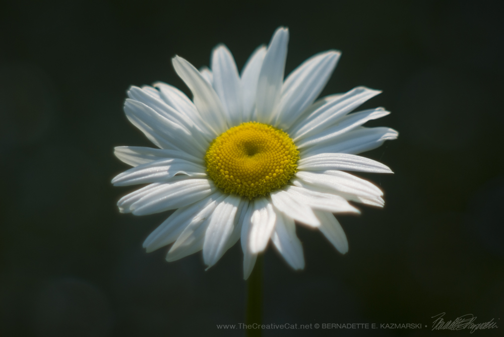 """A happy daisy in the garden path."""