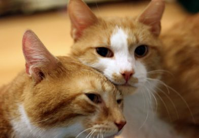 Cats for Adoption: Brothers Eugene and Abraham
