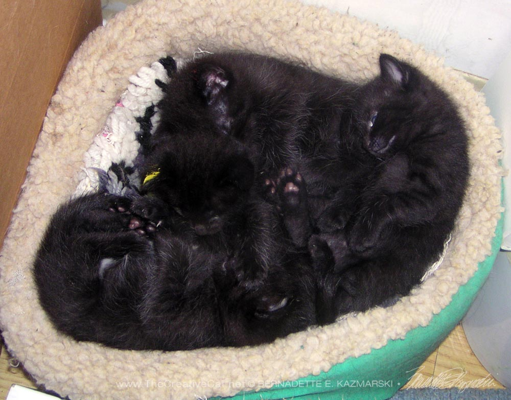 four black kittens napping
