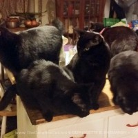 five black cats on cabinet