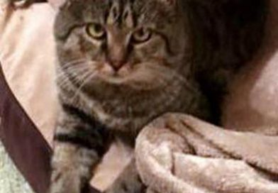 Cats for Adoption: Big Tabby Love