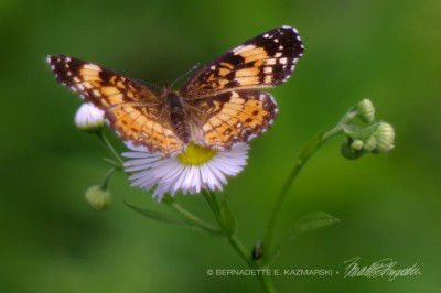 A silvery checkerspot on fleabane.
