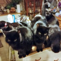 seven black cats on the cabinet