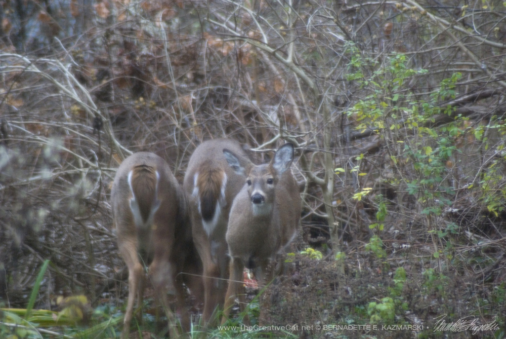photo of three white-tailed deer