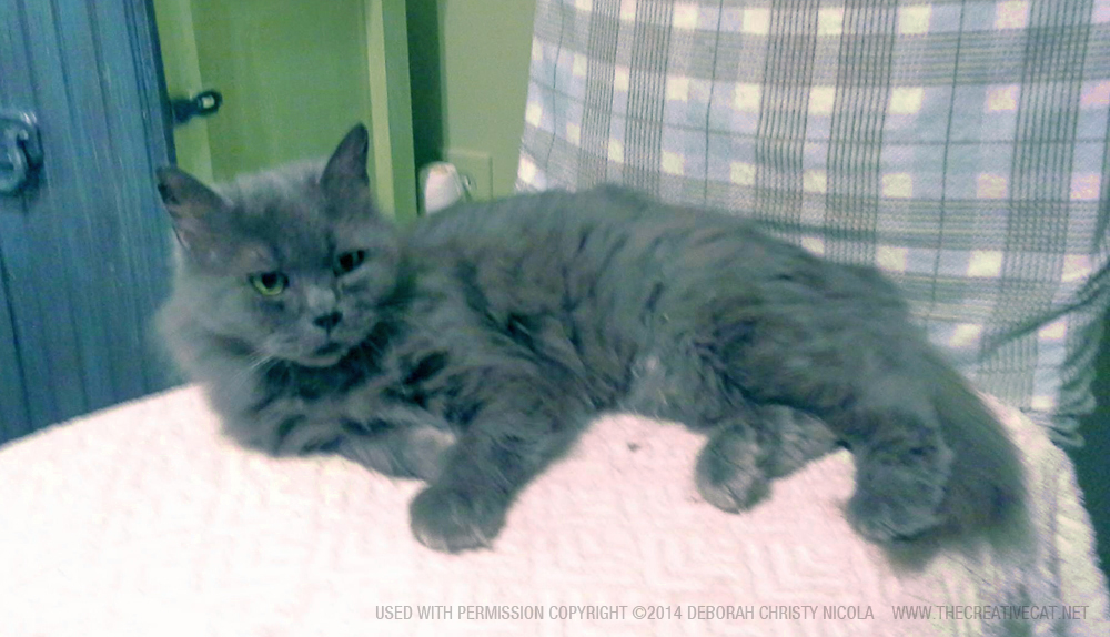 long-haired gray cat for adoption