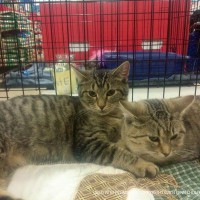 two tabby cats in cage