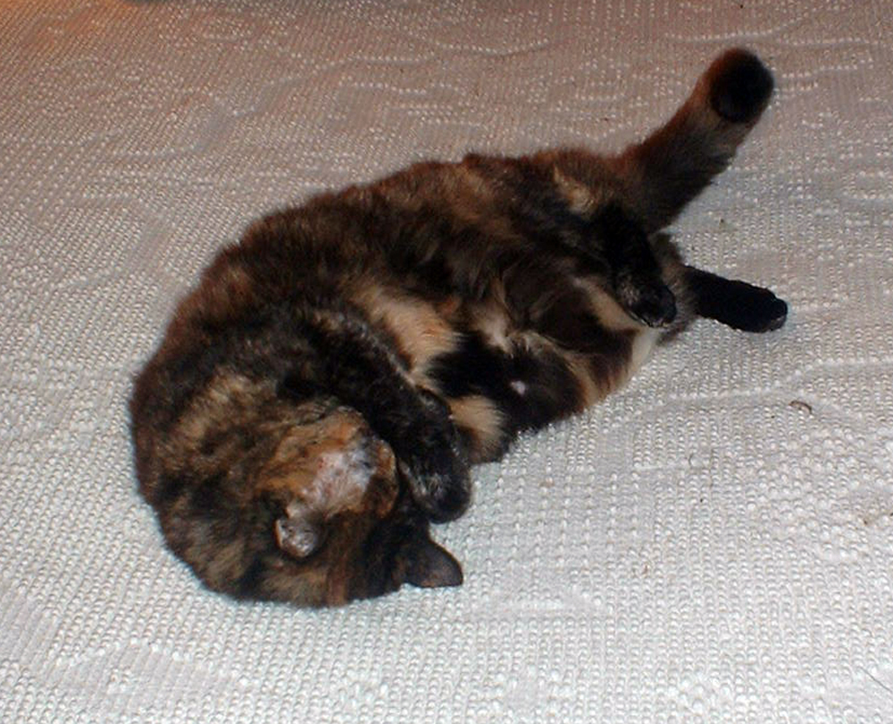 tortie cat with her paws over her face
