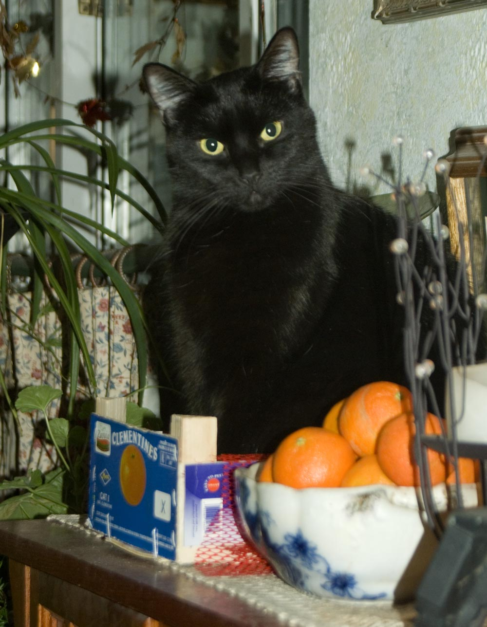 black cat with clementines