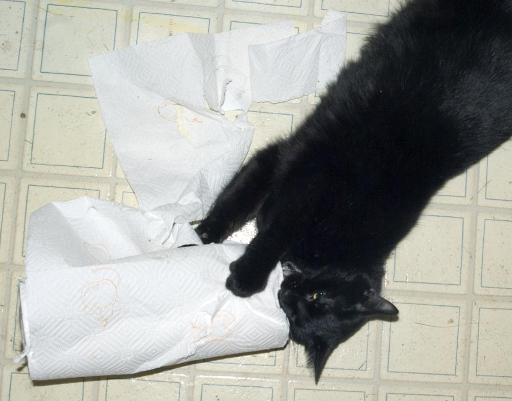 black cat with paper towels