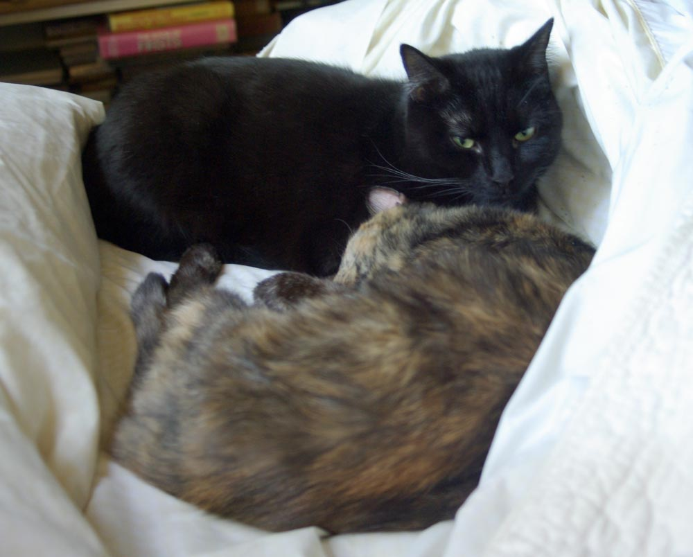black cat and tortoisesehll cat
