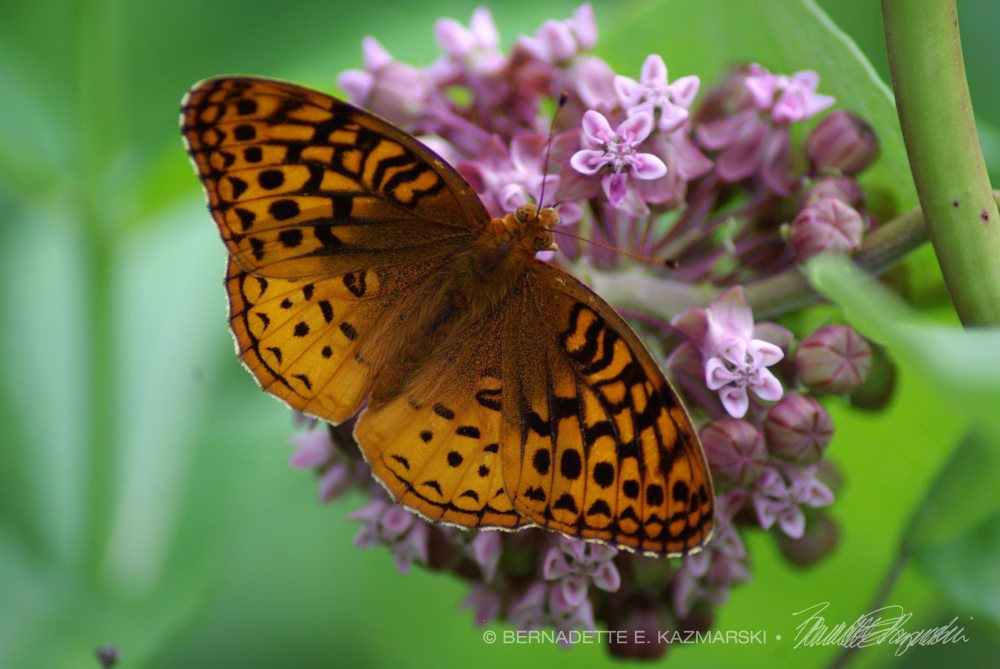 A great spangled fritillary on milkweed, seen along the trail.