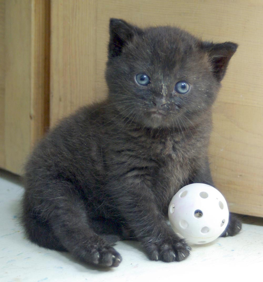 tiny black kitten with ball