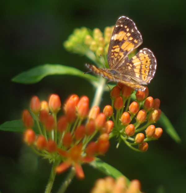 silvery checkerspot on butterfly weed