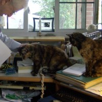 two tortoiseshell cats with man