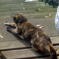 tortoiseshell cat scratching wood