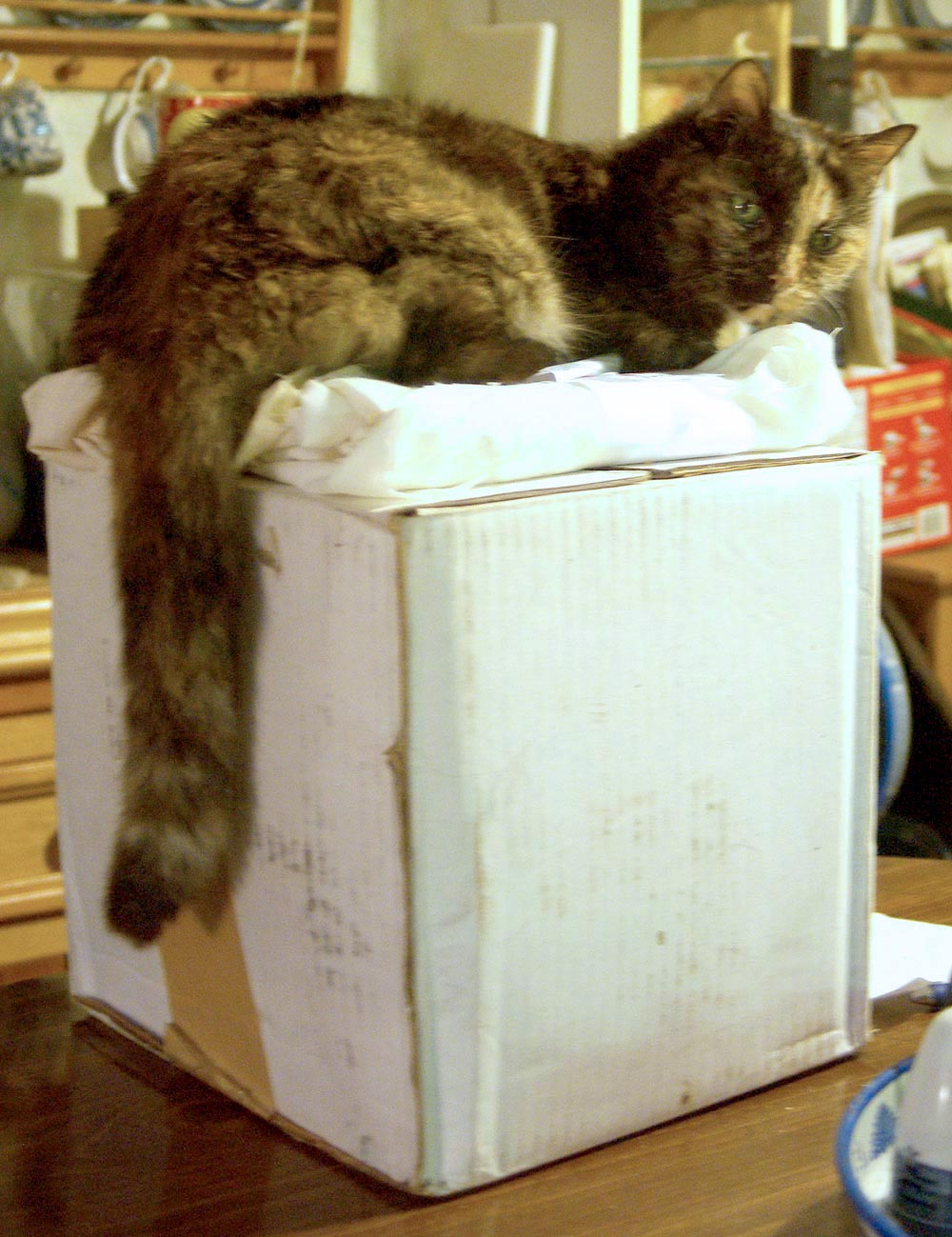 tortoiseshell cat on box