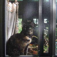tortoiseshell cat in window