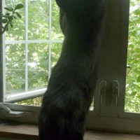 black cat stretching at window