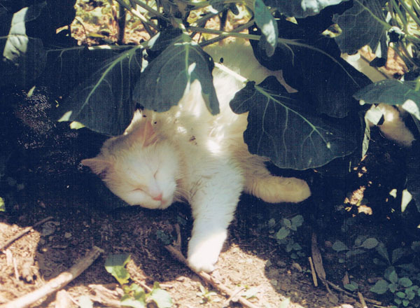 white cat sleeping under brussels sprouts