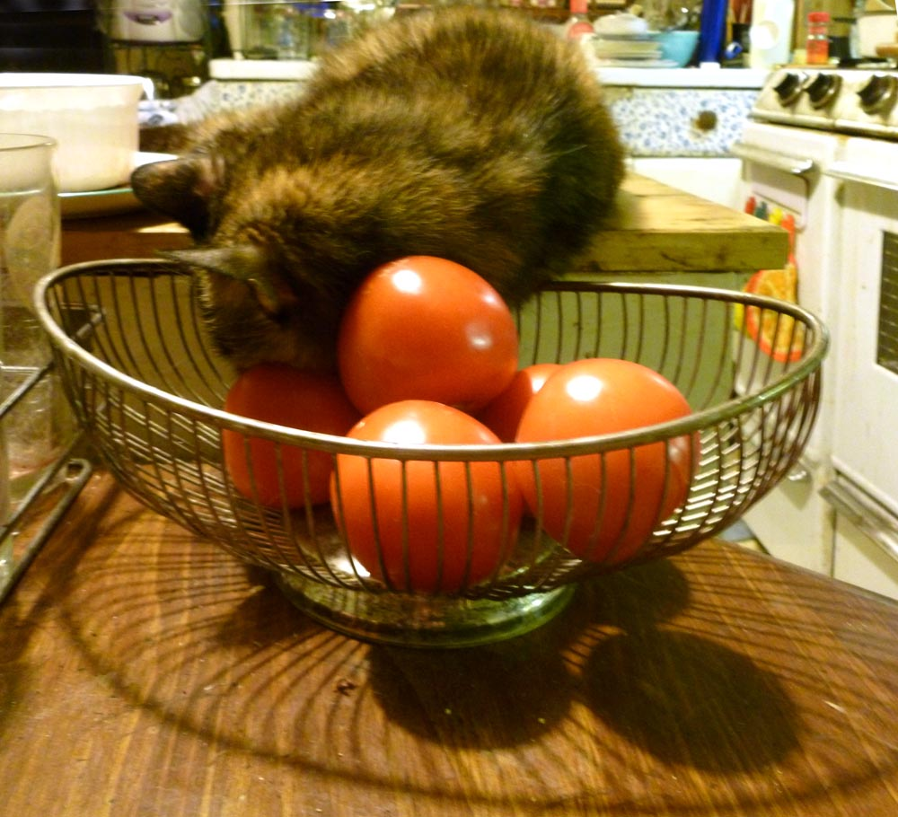 tortoiseshell cat sleeping on tomatoes