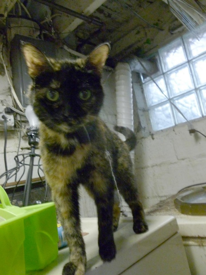 tortoiseshell cat with cobwebs