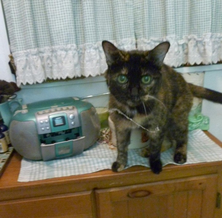 tortoiseshell cat on cabinet