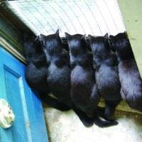five black cats at door