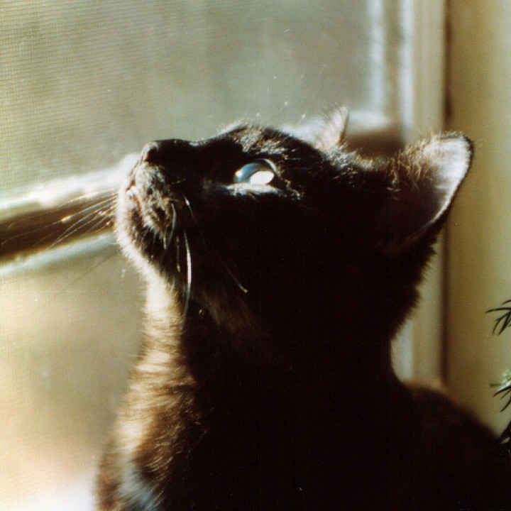 tortoiseshell cat looking out window