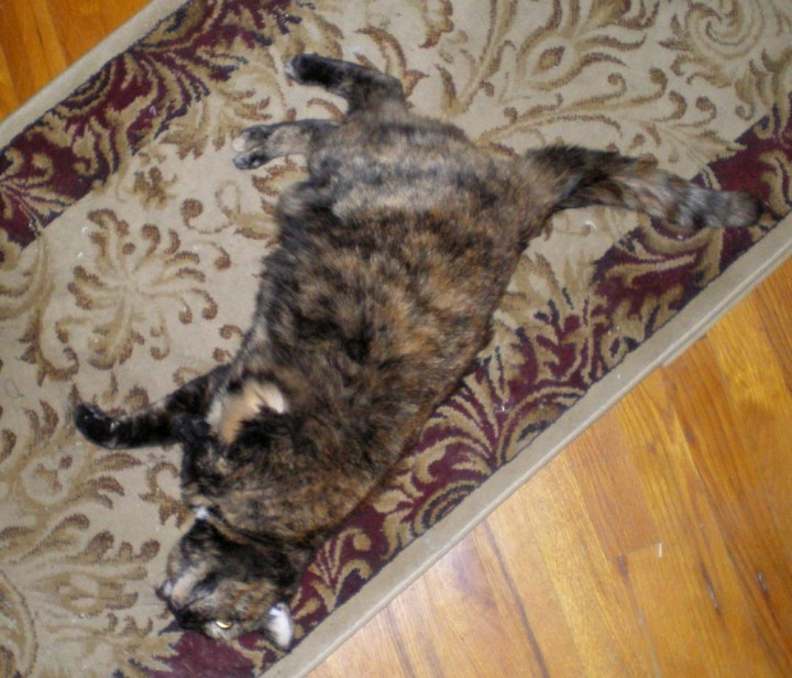 tortoiseshell cat rolling on rug
