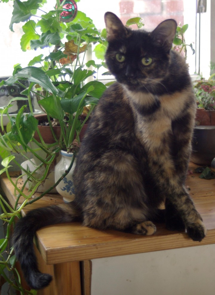tortoiseshell cat on table