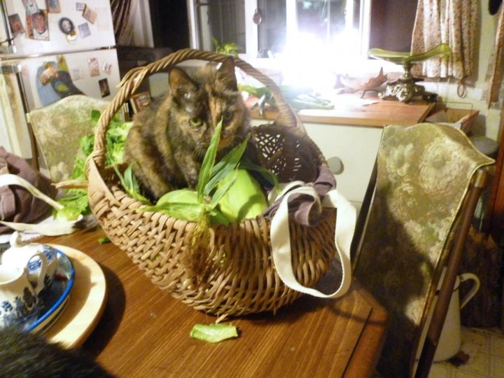 tortoiseshell cat in basket with corn