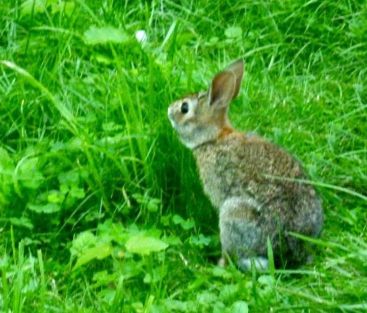 bunny eating grass in yard