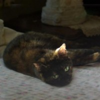 tortoiseshell cat on bed