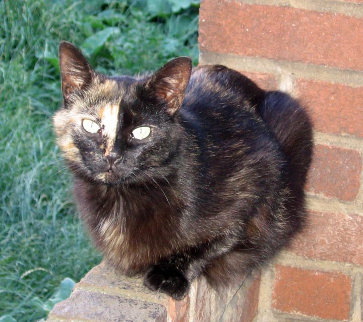 tortoiseshell cat on brick wall