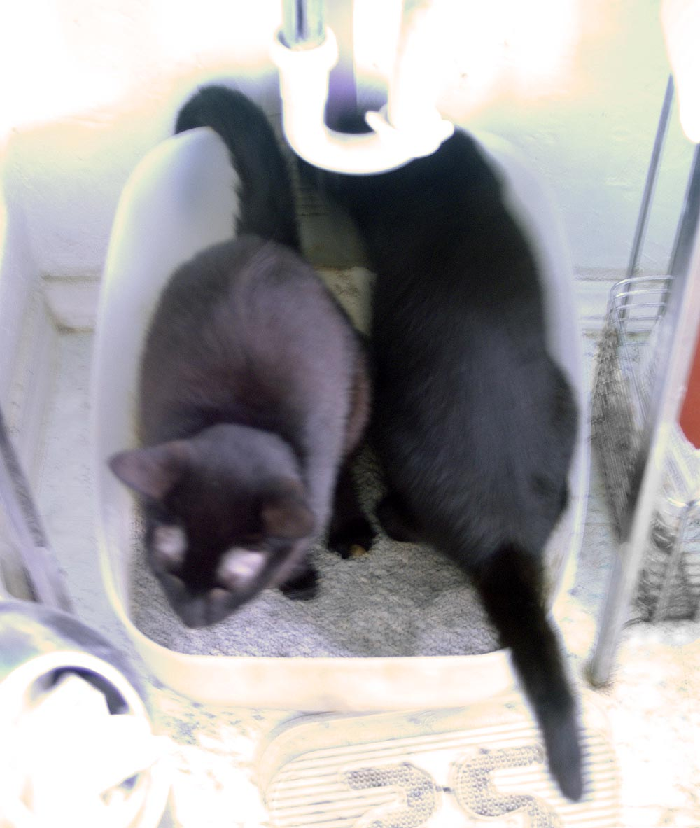 two black cats in litterbox