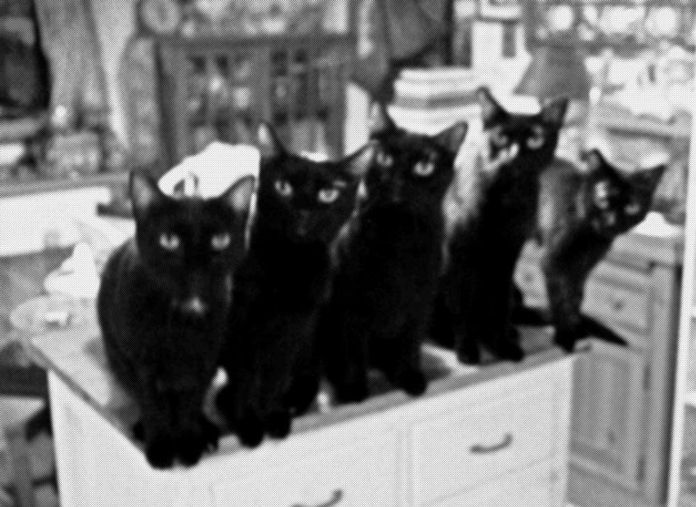 black and white photo of five black cats