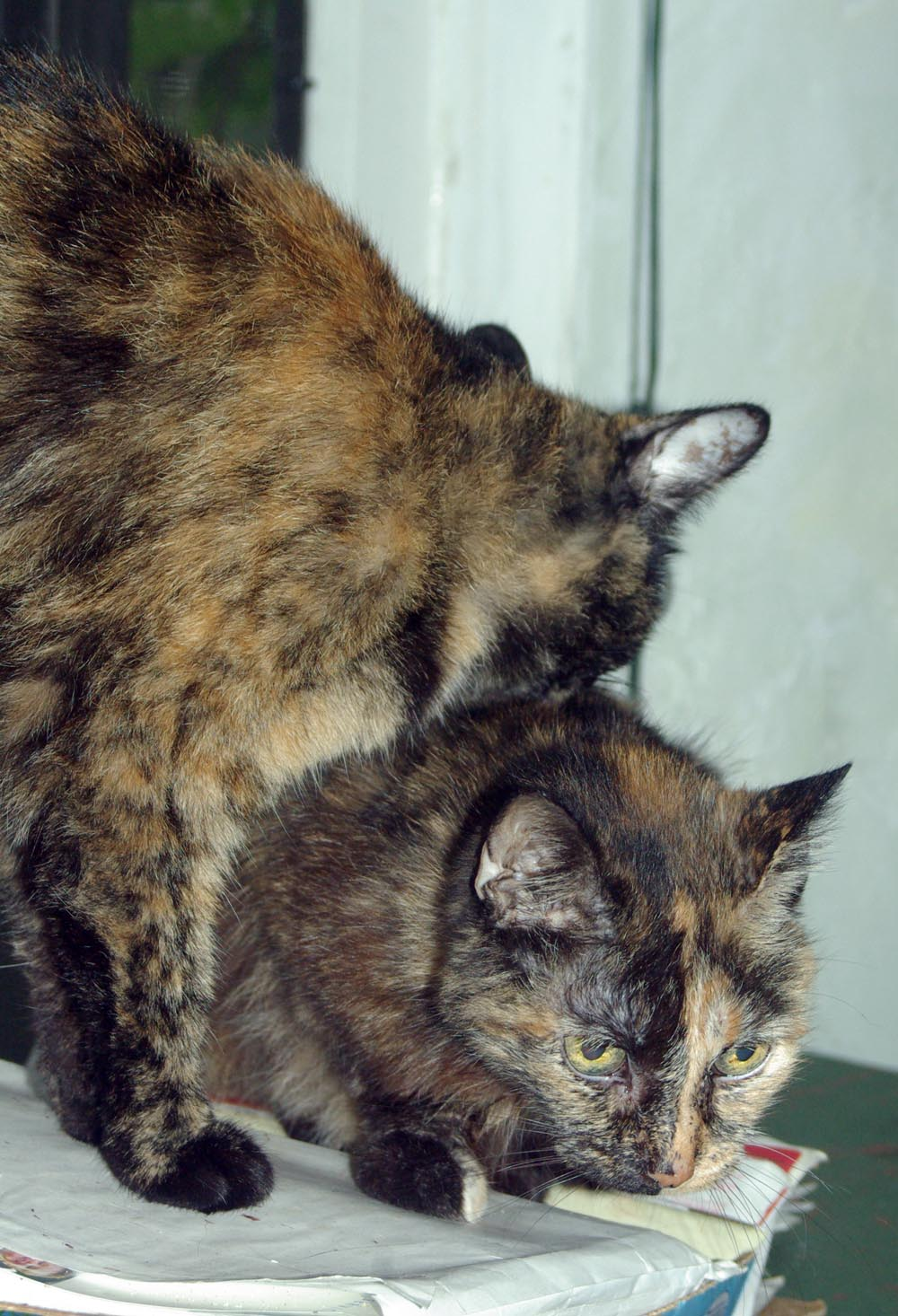 tortoiseshell cat washing other tortoiseshell cat
